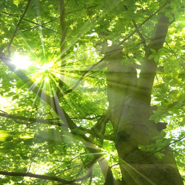 tree with sunlight shining through the leaves
